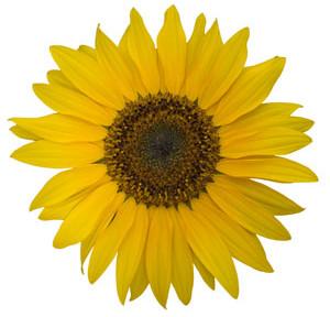 Fotografie květ slunečnice na bílém pozadí